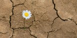 flower in the desert is dry land daisy