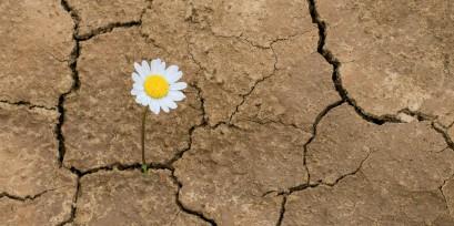 daisy flower in the desert