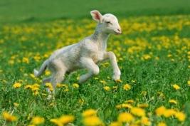 Merino lamb (Ovis aries)running in meadow