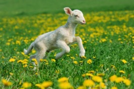 Merino lamb (Ovis aries)running in meadow